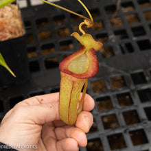Load image into Gallery viewer, N. (talangensis x xtrusmadiensis) x (ventricosa x xtrusmadiensis) EP - Rooted cutting