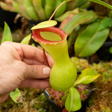 Load image into Gallery viewer, N. ventricosa 'Porcelain' - Longwood Gardens clone ULTRA RARE!