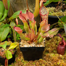 Load image into Gallery viewer, Heliamphora nutans 'giant Redleaf Exotics carnivorous Plants for sale.