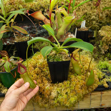 Load image into Gallery viewer, N. (truncata x ephippiata) x (spathulata x lowii) RARE!