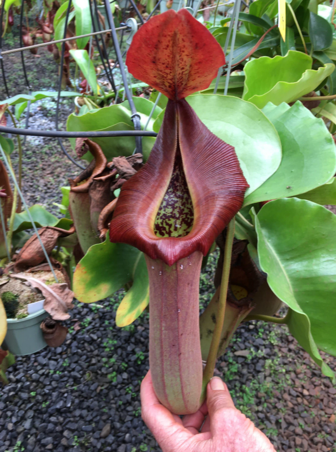 Nepenthes truncata (e) – red x red - Redleaf Exotics