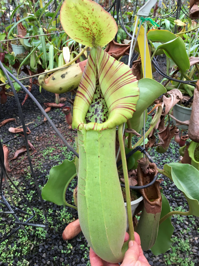 Nepenthes truncata (a) – typical - Redleaf Exotics