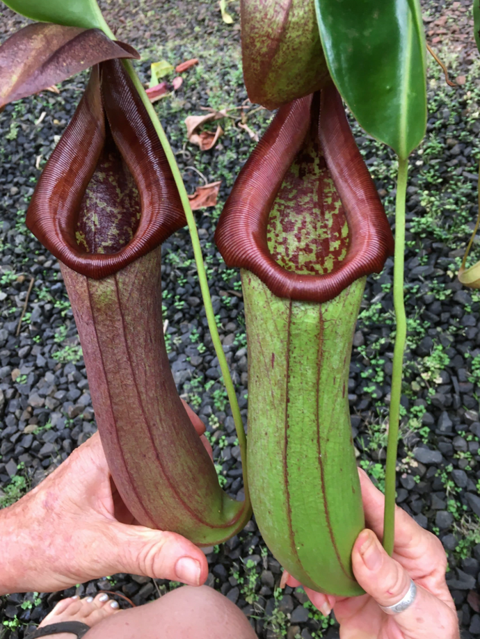 Nepenthes biak x truncata - Redleaf Exotics