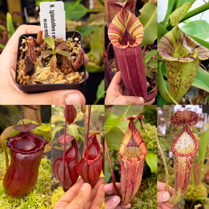 Nepenthes bundle redleaf Exotics Nepenthes for sale