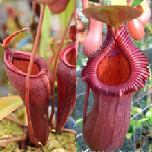 Load image into Gallery viewer, Nepenthes (jamban x dubia) x (ventricosa x xtrusmadiensis)