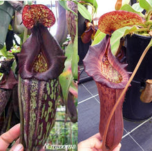 Load image into Gallery viewer, Redleaf Exotics Neoenthes import