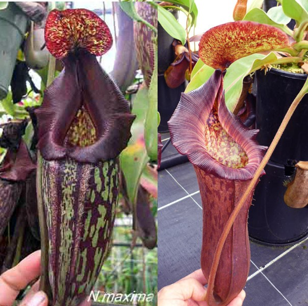 Redleaf Exotics Neoenthes import