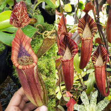 Load image into Gallery viewer, Nepenthes glandulifera x veitchii) x (spectabilis x veitchii) - Redleaf Exotics
