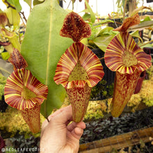Load image into Gallery viewer, Redleaf Exotics – Nepenthes (lowii x veitchii) x 'Tiveyi]] x platychila