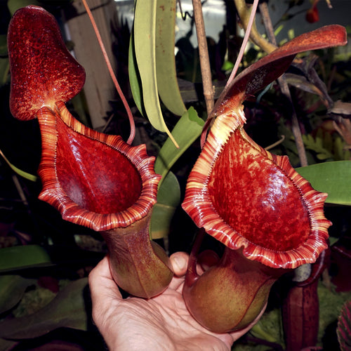 Nepenthes ventricosa x lowii - Red CK - Redleaf Exotics. Carnivorous plants for sale. Tropical pitcher plants for sale.