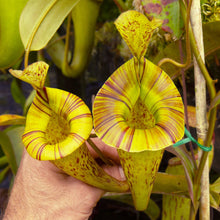 Load image into Gallery viewer, Nepenthes platychila Redleaf Exotics carnivorous plants