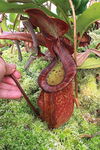 Load image into Gallery viewer, Redleaf Exotics Nepenthes rafflesiana – Brunei x Trusmadiensis'