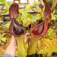 Load image into Gallery viewer, redleaf exotics – nepenthes for sale-10-3