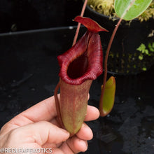 Load image into Gallery viewer, redleaf exotics – nepenthes for sale-1005