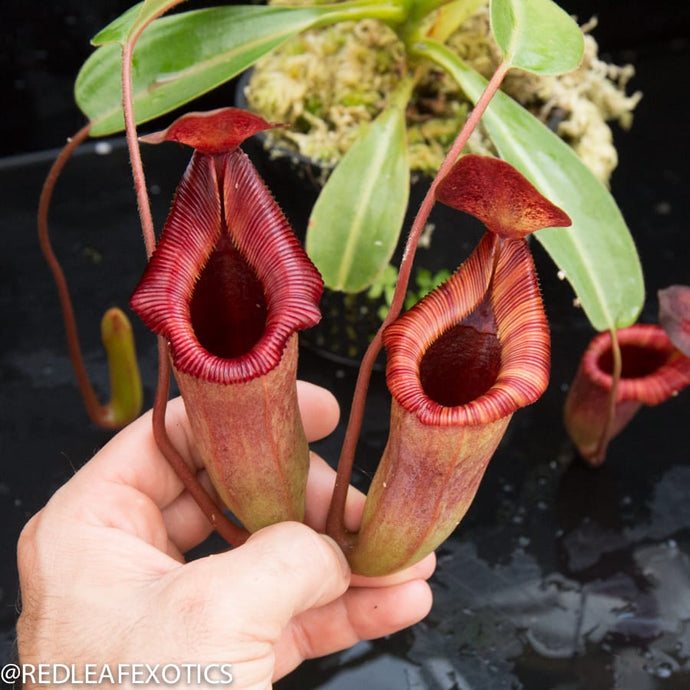 redleaf exotics – nepenthes for sale-1006