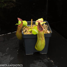 Load image into Gallery viewer, redleaf exotics – nepenthes for sale-1038