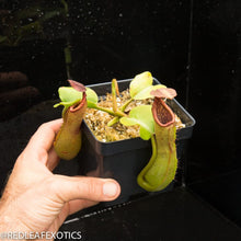 Load image into Gallery viewer, redleaf exotics – nepenthes for sale-1039