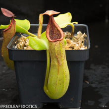 Load image into Gallery viewer, redleaf exotics – nepenthes for sale-1040