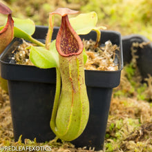 Load image into Gallery viewer, redleaf exotics – nepenthes for sale-1041