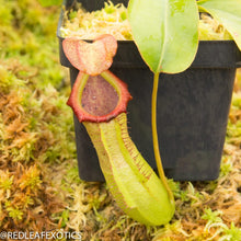 Load image into Gallery viewer, redleaf exotics – nepenthes for sale-1077