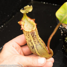 Load image into Gallery viewer, redleaf exotics – nepenthes for sale-1084