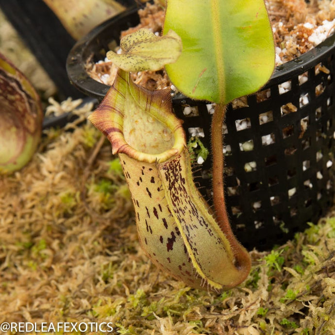 redleaf exotics – nepenthes for sale-1086
