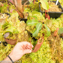 Load image into Gallery viewer, redleaf exotics – nepenthes for sale-11-3