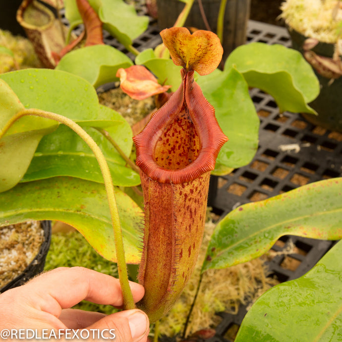 redleaf exotics – nepenthes for sale-1113-2