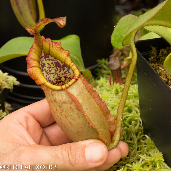 redleaf exotics – nepenthes for sale-1114