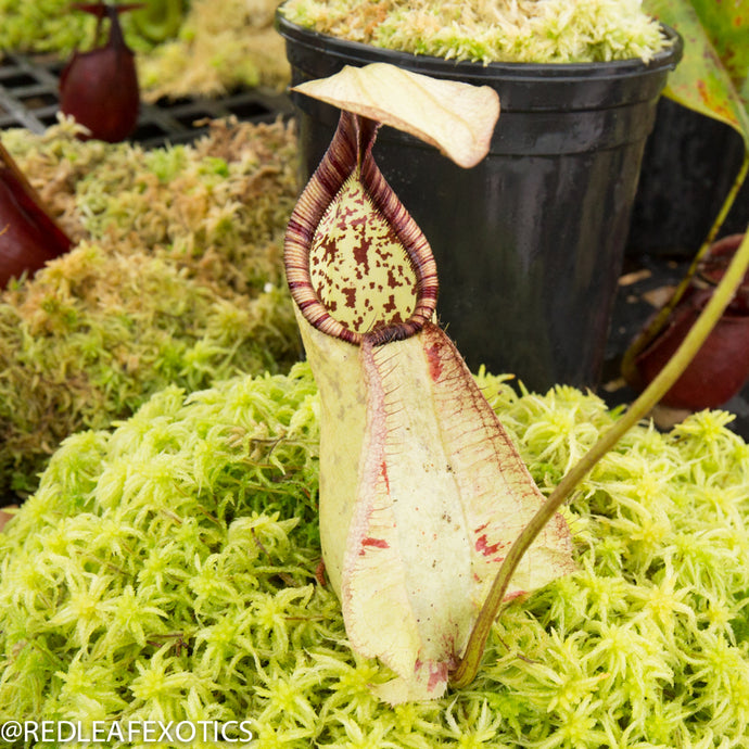redleaf exotics – nepenthes for sale-1115-2