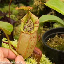 Load image into Gallery viewer, redleaf exotics – nepenthes for sale-1115