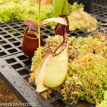 Load image into Gallery viewer, redleaf exotics – nepenthes for sale-1117-2