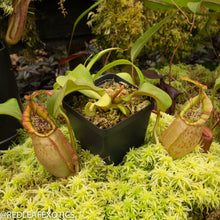 Load image into Gallery viewer, redleaf exotics – nepenthes for sale-1117