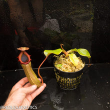 Load image into Gallery viewer, redleaf exotics – nepenthes for sale-1118