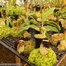 Load image into Gallery viewer, redleaf exotics – nepenthes for sale-1120-2