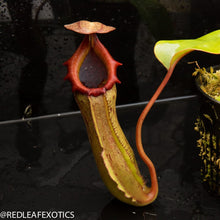 Load image into Gallery viewer, redleaf exotics – nepenthes for sale-1120