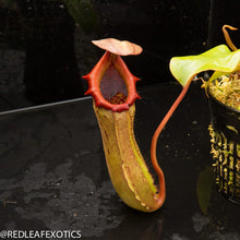 Load image into Gallery viewer, redleaf exotics – nepenthes for sale-1121