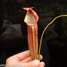 Load image into Gallery viewer, redleaf exotics – nepenthes for sale-1127