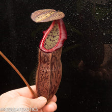 Load image into Gallery viewer, redleaf exotics – nepenthes for sale-1132