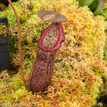 Load image into Gallery viewer, redleaf exotics – nepenthes for sale-1133