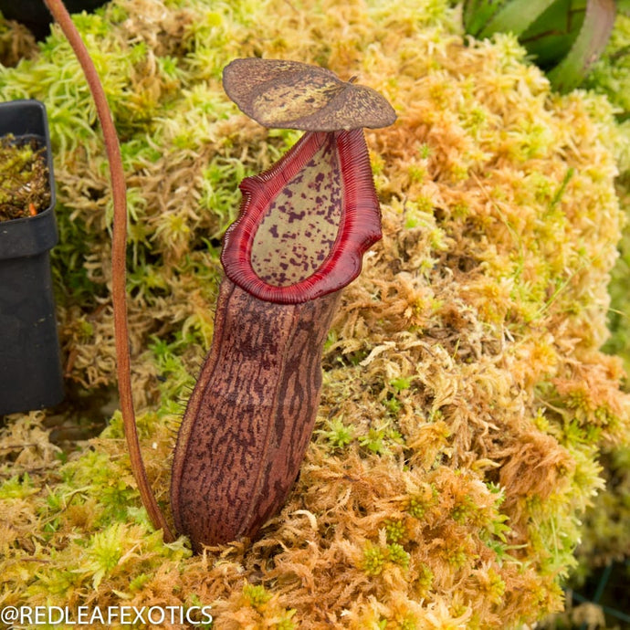 redleaf exotics – nepenthes for sale-1133