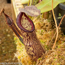Load image into Gallery viewer, redleaf exotics – nepenthes for sale-1135