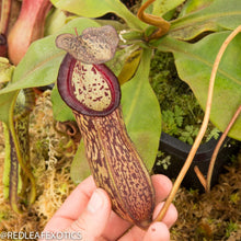 Load image into Gallery viewer, redleaf exotics – nepenthes for sale-1136