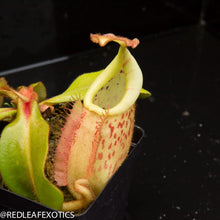 Load image into Gallery viewer, redleaf exotics – nepenthes for sale-1138