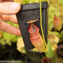Load image into Gallery viewer, redleaf exotics – nepenthes for sale-1140-2