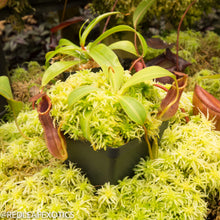 Load image into Gallery viewer, redleaf exotics – nepenthes for sale-1159