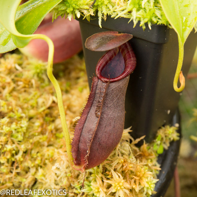 redleaf exotics – nepenthes for sale-1166