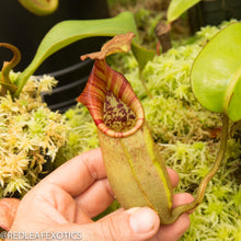 Load image into Gallery viewer, redleaf exotics – nepenthes for sale-1167-2