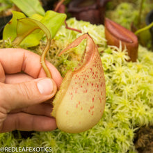 Load image into Gallery viewer, redleaf exotics – nepenthes for sale-1168-2