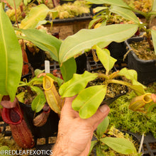 Load image into Gallery viewer, redleaf exotics – nepenthes for sale-1188